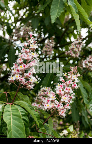 Aesculus Indica, Indian horse chestnut, Sapindaceae. Close up of flowers. - Stock Photo