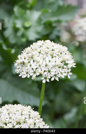 Allium nigrum flowers. - Stock Photo
