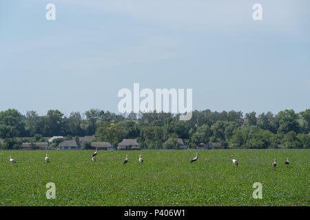 White storks in a meadow, Eastern Ukraine - Stock Photo