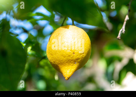 Ripe big yellow lemon citrus tropical fruit hanging on lemon tree - Stock Photo