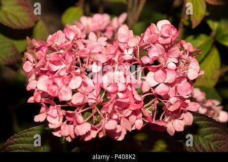 Tea of Heaven (Hydrangea serrata) - Stock Photo