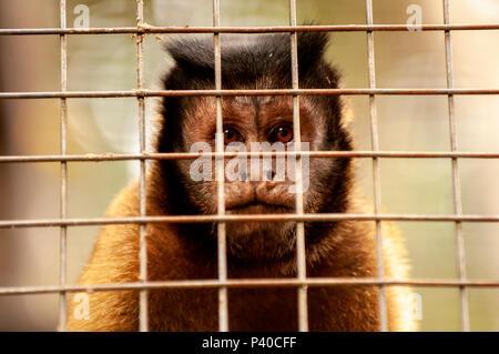 Caged tufted capuchin (Sapajus apella) at a small zoo, Manaus, Brazil - Stock Photo