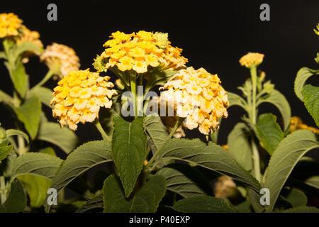 Wild Sage (Lantana camara) - Stock Photo