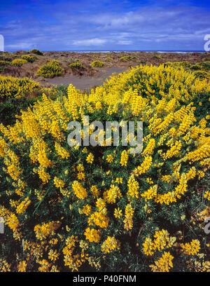 Yellow Bush Lupine, Lupinus arboreus, Clam Beach, Little River State Beach, Humboldt County, California - Stock Photo