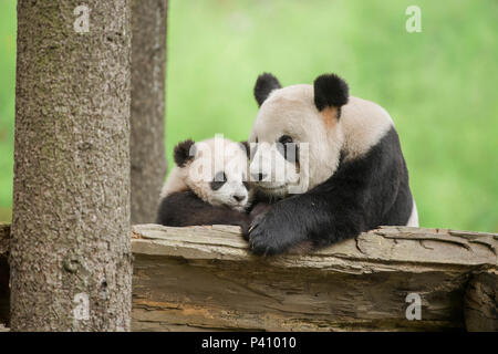 Giant Panda (Ailuropoda melanoleuca) mother and young, Wolong Nature Reserve, Sichuan, China