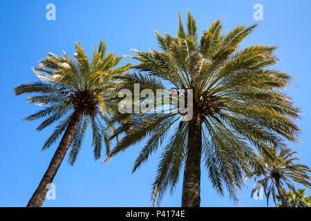 Arecales Palm tree fronds against a cloudless blue sky. - Stock Photo