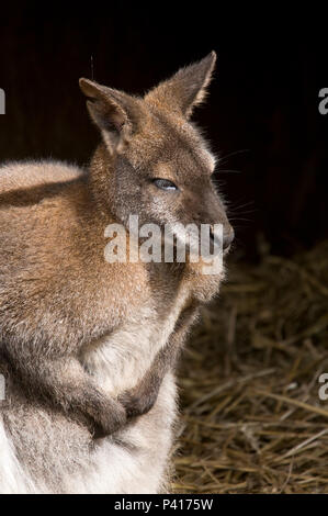 Red Necked Bennetts Wallaby - Stock Photo