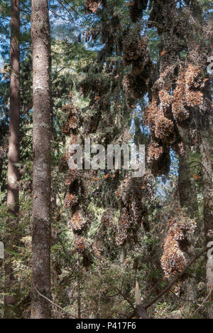 Monarch Butterflies clinging to branches in the forests of Mexico while over-wintering. - Stock Photo