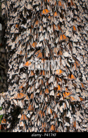 Hundreds of Monarch butterflies clinging to the trunk of a tree while over-wintering in the mountains of Mexico. - Stock Photo