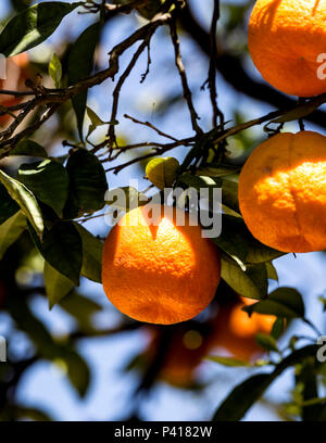 Ripe oranges on the tree, Seville, Andalusia, Spain. - Stock Photo