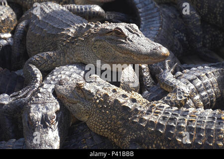 Alligators breeding farm. - Stock Photo