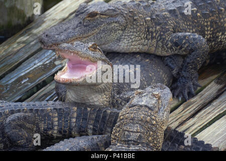 Alligator with mouth open. - Stock Photo