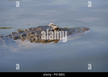Single crocodile floating in water. - Stock Photo