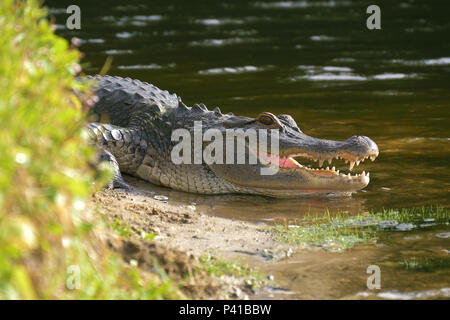 Alligator laying near a pond with its mouth open. - Stock Photo