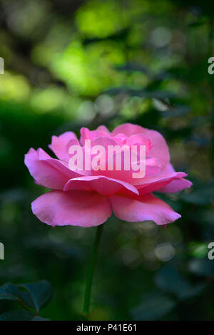 A beautiful isolated Pink florabunda rose in garden surrouded by darkened soft focus foliage - Stock Photo