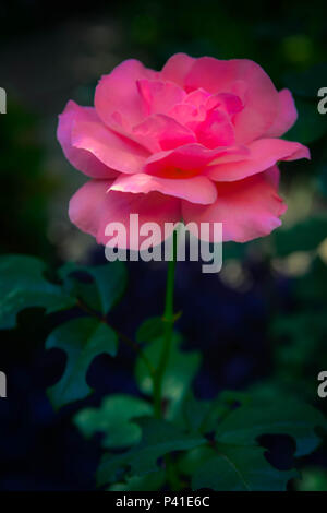 A beautiful isolated Pink rose in garden surrouded by darkened soft focus foliage - Stock Photo