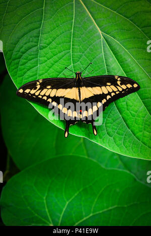 A brilliant Black and Yellow Swallowtail butterfly rests on a big green leaf with wings spread with a dramatic dark soft focus background of foliage - Stock Photo