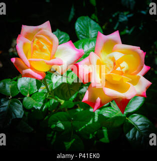 Several golden yellow with ruby blushed tip roses, known as 'Dream Come True' Grandiflora roses blooming in Spring garden - Stock Photo