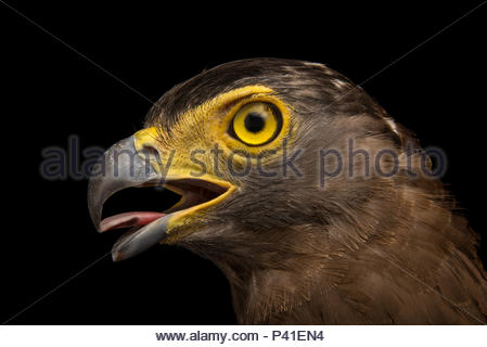Crested serpent eagle, Spilornis cheela burmanicus, at Angkor Centre for Conservation of Biodiversity. - Stock Photo