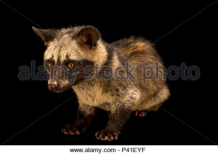Asian palm civet, Paradoxurus hermaphroditus laotum, at Angkor Centre for Conservation of Biodiversity. - Stock Photo