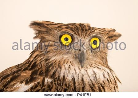 Brown fish owl, Ketupa zeylonensis orientalis, at Phnom Tamao Wildlife Rescue Center. - Stock Photo