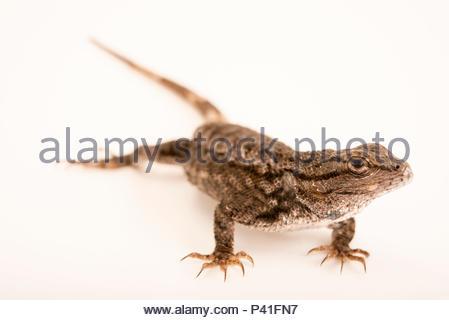 Plateau lizard, Sceloporus tristichus, at the Pajarito Environmental Education Center. - Stock Photo