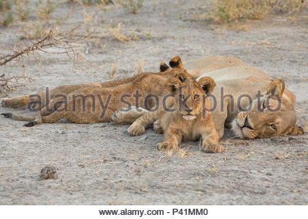 A lioness and cubs rest in Botswana's Chitabe Concession area. - Stock Photo