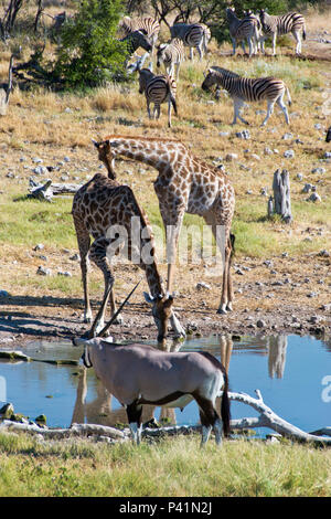 Giraffes and an Oryx drink at a waterhole in Etosha National Park, Namibia. - Stock Photo