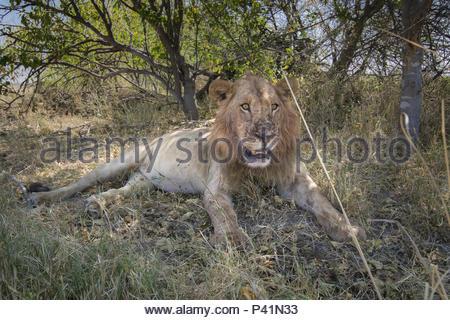 A lion in the grasslands of the Okavango Delta. - Stock Photo