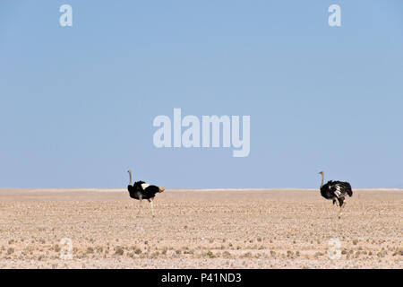 Ostriches in the Namib Naukluft National Park, along the road used by tourists driving to the famous red sand dunes at Sossusvlei, Namibia. - Stock Photo
