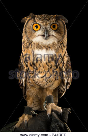 Northern eagle owl, Bubo bubo tenuipes, the Budapest Zoo. - Stock Photo