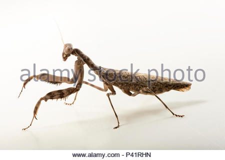 Indonesian double shield mantis, Pnigomantis medioconstricta, at the Budapest Zoo. - Stock Photo