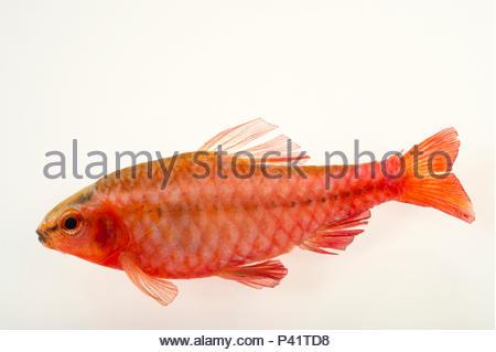 Cherry barb, Puntius titteya, at L'aquarium tropical du palais de la Porte Doree. - Stock Photo