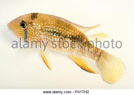 Inca stone fish, Tahuantinsuyoa macantzatza, at L'aquarium