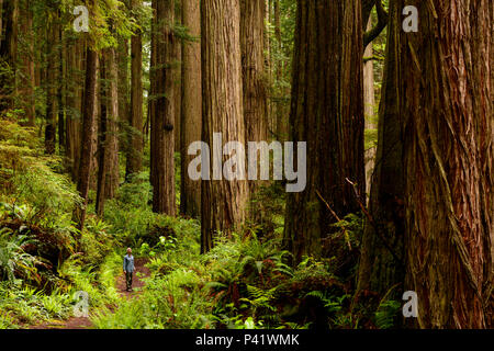 A hiker dwarfed by giant Redwoods along the Boy Scout tree trail at Jedediah Smith Redwoods state park in northern California, North America. - Stock Photo