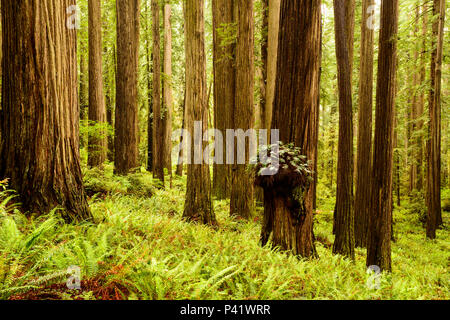 Hiking in the Redwoods in Boy Scout tree trail at Jedediah Smith Redwoods state park in northern California