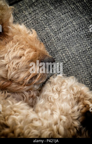 Close up of the nose and mouth of a beige coloured Labradoodle dog as it sleeps - Stock Photo