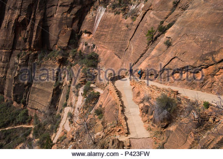 Looking down at the Walter's Wiggles portion of the West Rim Trail consisting of a series of 21 steep switchbacks carved into the sheer cliff face, Zi - Stock Photo