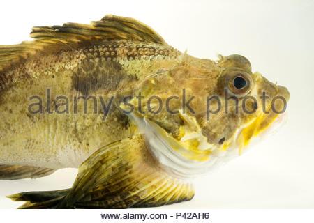 Yellow Irish lord, Hemilepidotus jordani, at the Alaska SeaLife Center. - Stock Photo