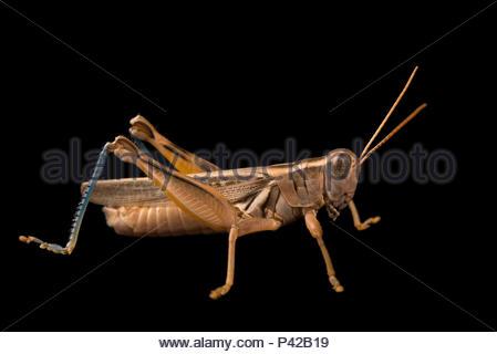 Yellowish spur throat grasshopper, Melanoplus flavidus, at Cedar Point Biological Station. - Stock Photo