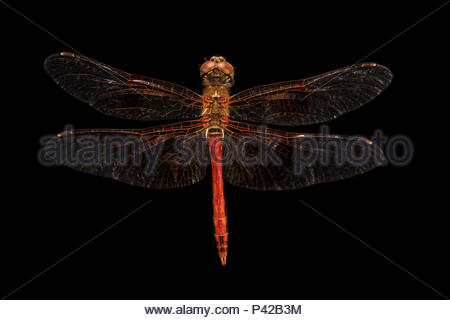 Skimmer dragonfly, Sympetrum occidentale, at Cedar Point Biological Station. - Stock Photo