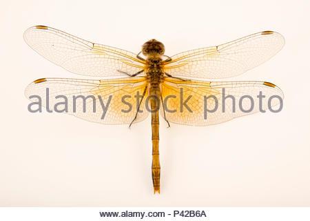 Skimmer dragonfly, Sympetrum occidentale, at Cedar Point Biological Station. - Stock Photo