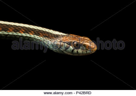 Red sided garter snake, Thamnophis sirtalis infernalis, at the Exmoor Zoo. - Stock Photo