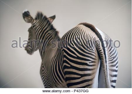 Grevy's zebra, Equus grevyi, at the Lee G. Simmons Conservation Park and Wildlife Safari near Ashland, Nebraska. - Stock Photo