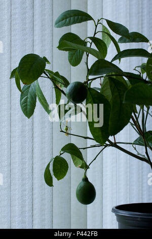 Close up view of a growing lemon on a small indoor Meyer lemon tree, with white curtain background - Stock Photo