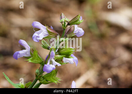 Macro close-up view of isolated sage herb flowers in bloom - Stock Photo