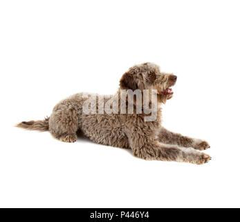 Lagotto romagnolo dog, pure breed  on white background - Stock Photo