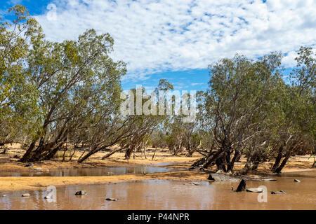 Gibb Challenge 2018 eucalyptus trees growing on the water's edge of a river crossing Gibb River Road Kimberley Australia - Stock Photo