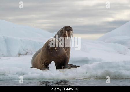 Norway, Svalbard, Nordaustlandet, Austfonna. Walrus (Odobenus rosmarus) on ice. - Stock Photo