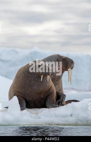 Norway, Svalbard, Nordaustlandet, Austfonna. Walrus (Odobenus rosmarus) with Austfonna Ice Cap in the distance. - Stock Photo